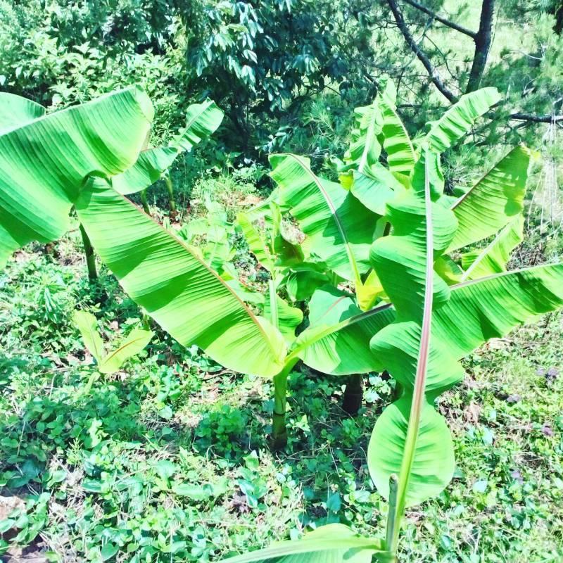 ーーーーーーーー実家 のバナナの木が 今年も大きくなりそうですーーーーーーーー・・・・・・・・